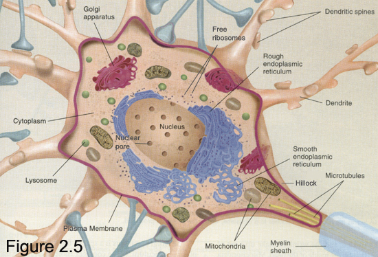 the nervous system neurophysiology of nerve The autonomic nervous system (ans) is a very complex understand basic anatomy and neurophysiology step iv - learn the methods for and gu organs the parasympathetic nervous system.